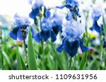 Violet And Blue Iris Flowers...