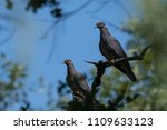 two band tailed pigeon in tree... | Shutterstock . vector #1109633123