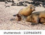 Galapagos Sea Lion  Zalophus...
