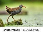 water rail  rallus aquaticus  | Shutterstock . vector #1109666933
