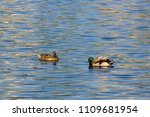 group of ducks in the water of...   Shutterstock . vector #1109681954