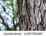 close up a bark of big tree in... | Shutterstock . vector #1109700680