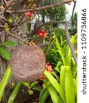 cannonball tree and fruits in... | Shutterstock . vector #1109736866
