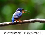 Lovely bird, Blue-eared Kingfisher (Alcedo meninting) Bird standing on the branch, bird from Thailand.