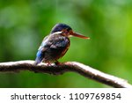 Lovely bird, Blue-eared Kingfisher (Alcedo meninting) Bird standing on the branch, bird from Thailand.