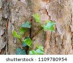 ascending ivy wood surface   Shutterstock . vector #1109780954