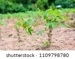 small plant of cassava in the... | Shutterstock . vector #1109798780