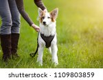 puppy dog standing on the... | Shutterstock . vector #1109803859