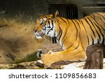 tiger in nature | Shutterstock . vector #1109856683