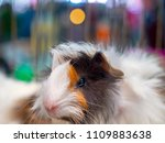 Stock photo hamsters teddy bear hamster cute 1109883638
