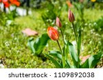 red tulips on a flowerbed in... | Shutterstock . vector #1109892038