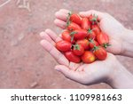 small tomatoes on hand.baby... | Shutterstock . vector #1109981663