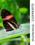 Small photo of Red Postman - Heliconius erato, beautiful colorful butterfly from New World.
