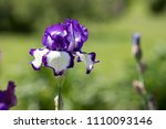 purple and white iris blooms on ... | Shutterstock . vector #1110093146