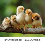 Stock photo cute chicks 111009566