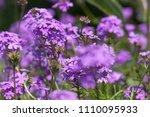 purple flowers in the field... | Shutterstock . vector #1110095933