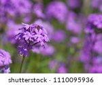 purple flowers in the field... | Shutterstock . vector #1110095936