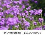 purple flowers in the field... | Shutterstock . vector #1110095939