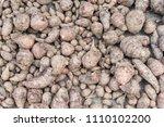 group of taro or yautia lila in ... | Shutterstock . vector #1110102200