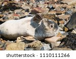 seal on the seashore of the... | Shutterstock . vector #1110111266