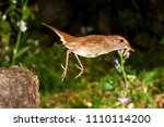 nightingale  luscinia... | Shutterstock . vector #1110114200