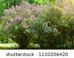 lilac or common lilac  syringa...   Shutterstock . vector #1110206420