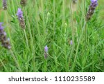 beautiful detail of a lavender... | Shutterstock . vector #1110235589