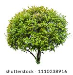 chinese bangan  curtain fig ... | Shutterstock . vector #1110238916