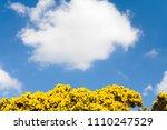 Gorse Bush In Flower Against A...