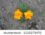 summer bright flowers in the... | Shutterstock . vector #1110273470