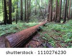 fallen log  redwood forest ...   Shutterstock . vector #1110276230