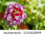 verbena hybrida twister flower... | Shutterstock . vector #1110320099