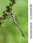 Small photo of The Migrant Hawker (Aeshna mixta), Denmark