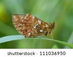 cranberry fritillary  boloria... | Shutterstock . vector #111036950