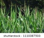 Corn Stalk Tops Including...