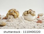 Stock photo  close up baby tortoise hatching african spurred tortoise birth of new life cute baby animal 1110400220