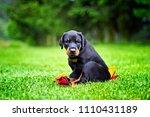 Doberman Puppy In Grass. Puppy...