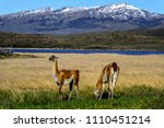 guanaco's in patagonia | Shutterstock . vector #1110451214