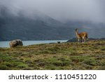 guanaco's in patagonia | Shutterstock . vector #1110451220