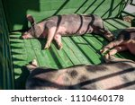 hog waiting feed. pig indoor on ... | Shutterstock . vector #1110460178