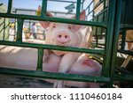 hog waiting feed. pig indoor on ... | Shutterstock . vector #1110460184