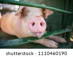 hog waiting feed. pig indoor on ... | Shutterstock . vector #1110460190