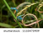 Mating Pair Of Blue Azure...