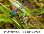 Mating Pair Of Blue And Green...