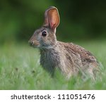 Eastern Cottontail Rabbit ...