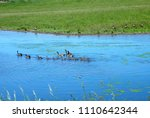 Goslings swimming in bright blue pond with adult Canada Geese