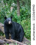 Alert Black Bear  Stares Off...