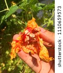 bitter gourd in tropical home... | Shutterstock . vector #1110659573