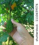 bitter gourd in tropical home... | Shutterstock . vector #1110659576