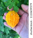 bitter gourd in tropical home... | Shutterstock . vector #1110659579